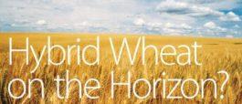 hybridwheat_main2_mar13