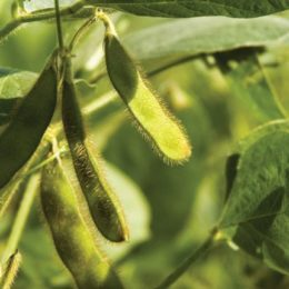 More Soybean Genomes Unmasked