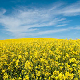 Monsanto Canada to Launch First Biotech Canola Trait Since 1996