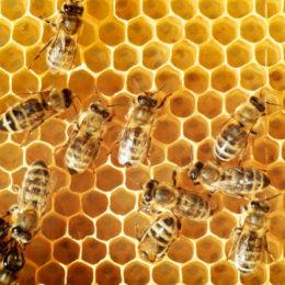 Honeybee Health Project Making Progress