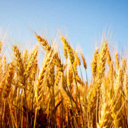 Limagrain Cereals Research Canada Gets Recommendation for Interim Registration on First Variety