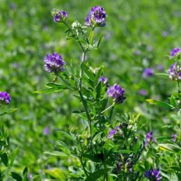 Forage Genetics to Sell GM Alfalfa in Eastern Canada in 2016