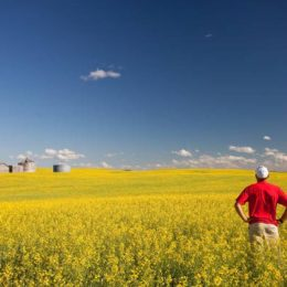 Syngenta Launches Clubroot-Resistant Canola Hybrid SY4187