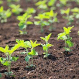Seedling Disease in Soybeans: No Magic Bullet