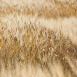 Consultation Begins on Proposed New Wheat Class