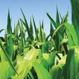 New Dow Seeds Corn Hybrids Announced