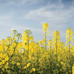 China Grants Regulatory Approval of TruFlex Canola with Roundup Ready Technology