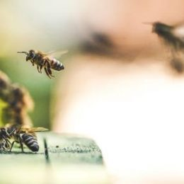 Should we Think of Honeybees as Livestock and Not Wildlife? Researchers Say Yes