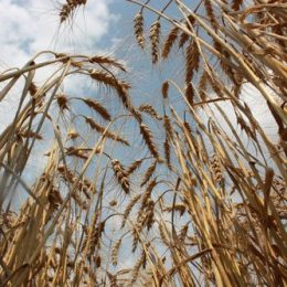 Alberta Wheat Commission says Wheat Class Changes Hurt Farmers, Value Chain