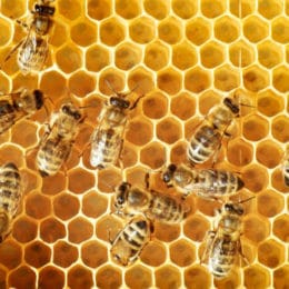 Biologists Identify Honeybee 'Clean' Genes Known for Improving Survival